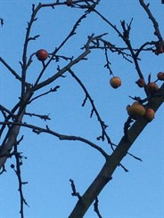 ACWG winter crab apples
