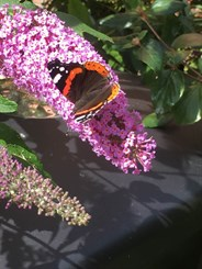 Red Admiral wildlife photograph