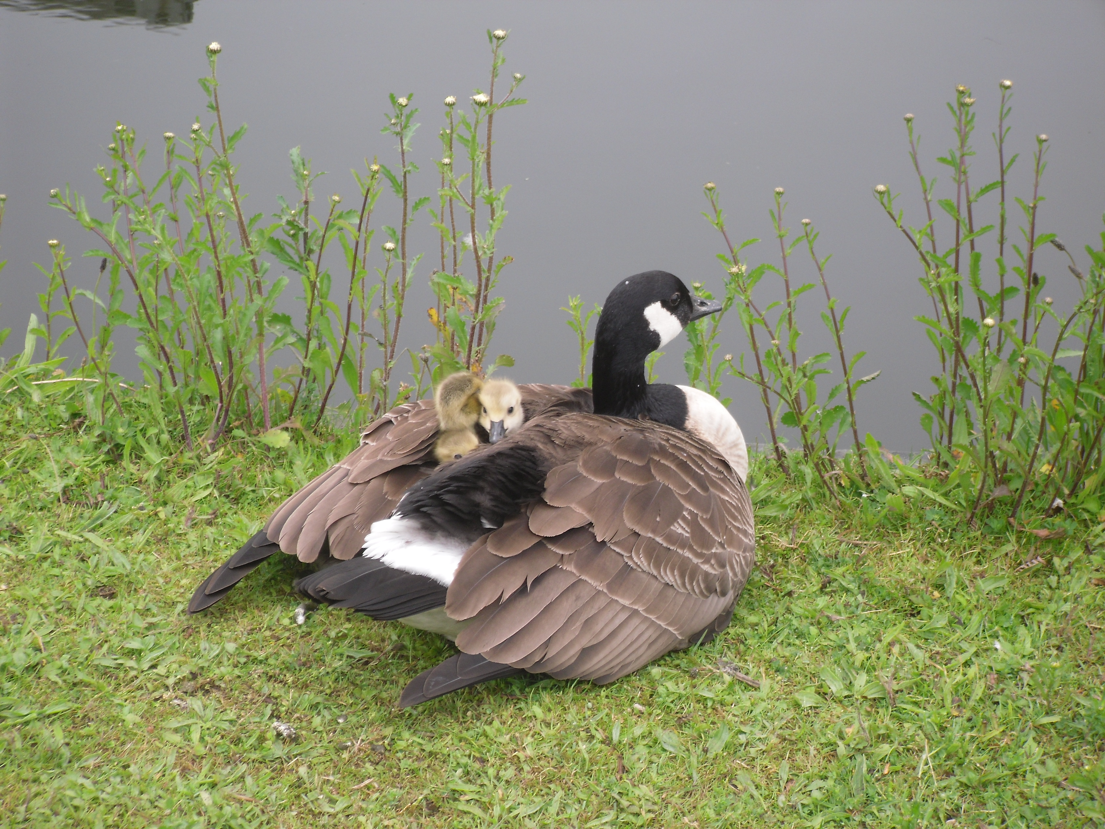 Goose and Goslings